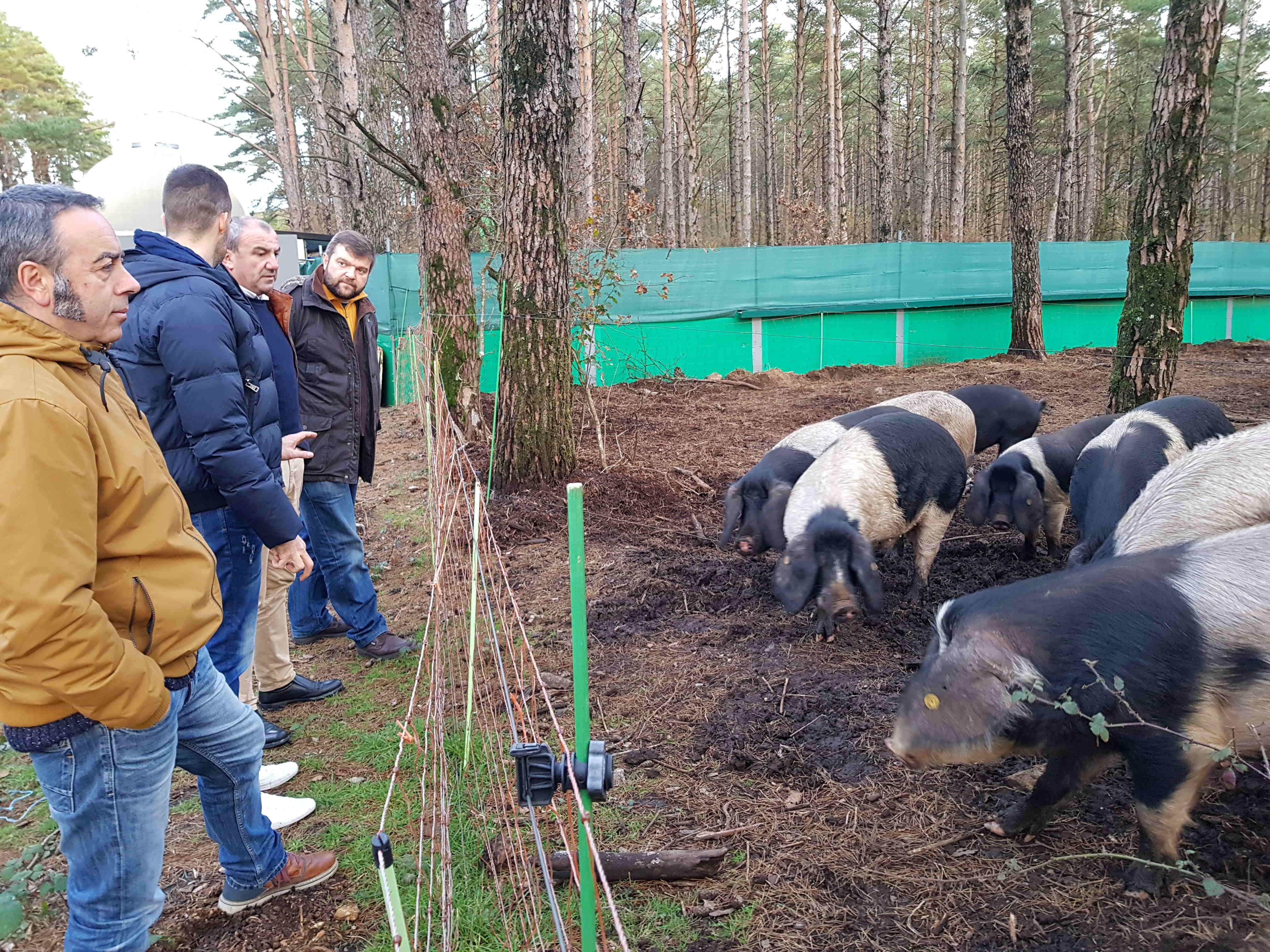 A Deputación custea os programas sanitarios das explotacións de porco celta da provincia